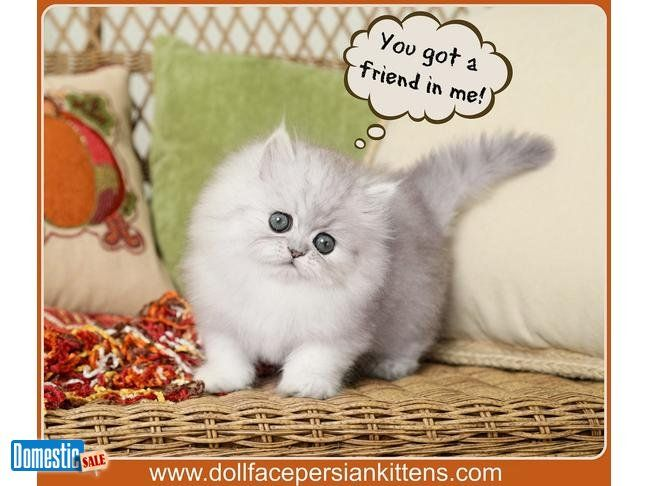 Silver Tip Persian Kitten With A Heart Of Gold Find Out More About This Precio Persian Kittens Teacup Persian Kittens Teacup Persian Cats