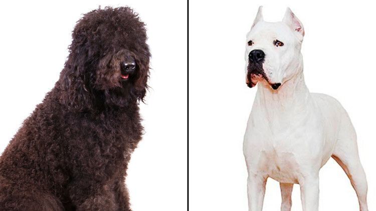 The American Kennel Club Announces 2 New Dog Breeds The Barbet And Dogo Argentino Cnn Dog Breeds Purebred Dogs Dogs