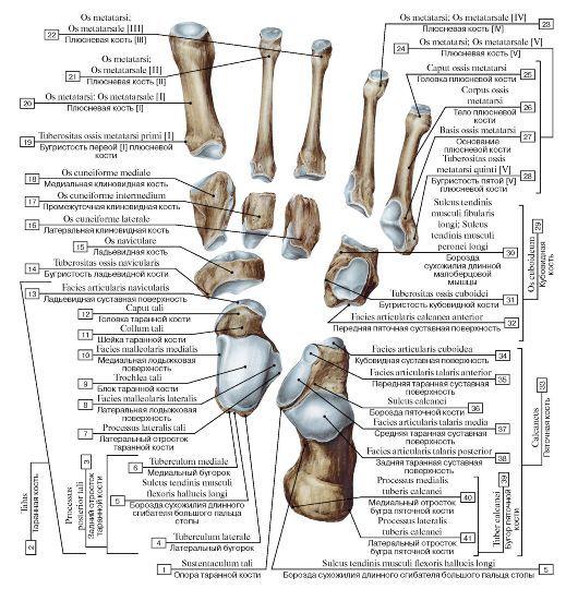 vmede.org sait ?page=2&id=Anatomija_bili4_t1&menu=Anatomija_bili4_t1 | Анатомия человека. Анатомия и физиология ...