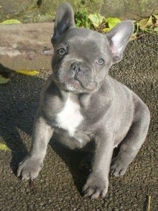 Grey Blue Frenchie French Bulldog Puppies Grey French Bulldog