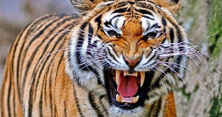 حيوانات مفترسة تاكل البشر Endangered Animals Tiger Animals