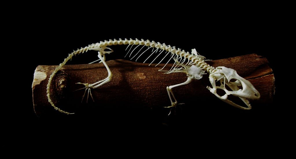 Tokay gecko skeleton | Pinterest | Huesos, Dibujar y Modelo