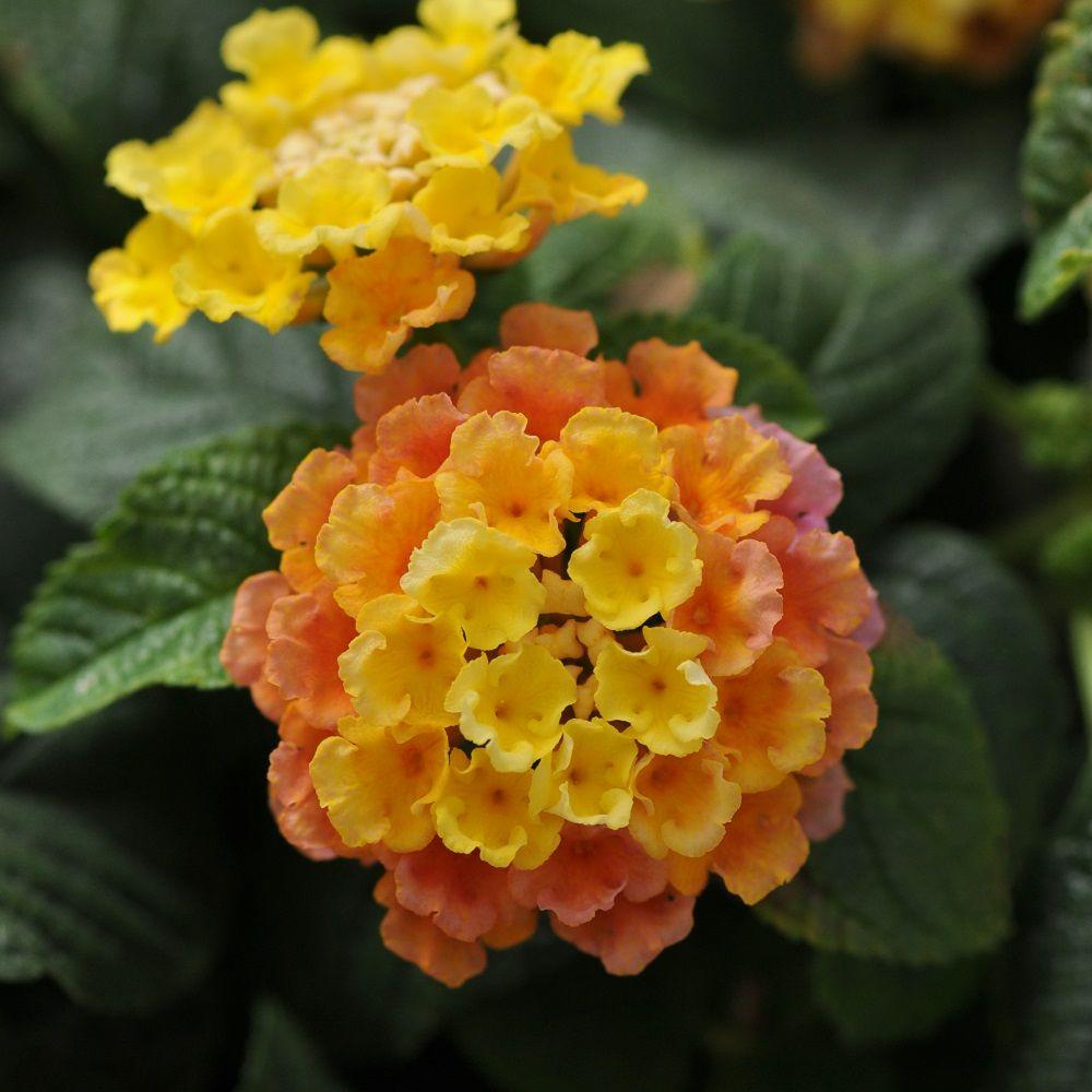 2 5 Qt Little Lucky Peach Glow Lantana Live Perennial Plant Orange Peach To Yellow Bloom Clusters 3818q The Home Depot Lantana Perennial Plants Flowers
