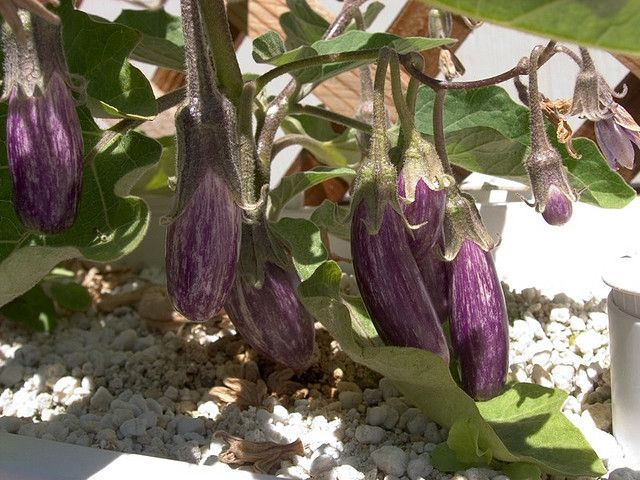 eggplants-fairy-tale-closeup-hydroponic.jpg by Strata Chalup, via Flickr