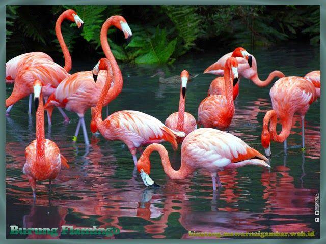 Gambar Burung Flamingo Flamingos Binatang Dan Gambar