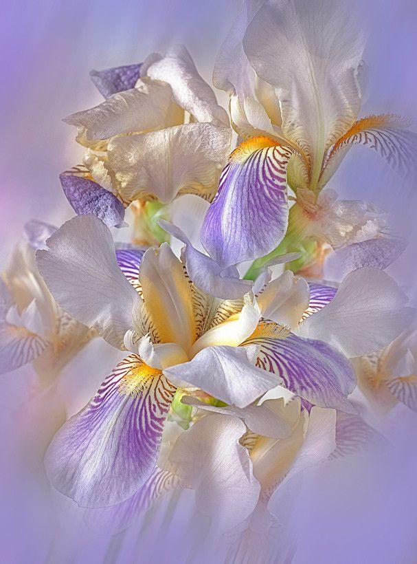 flower-de-luce by vvkrass #SocialFoto