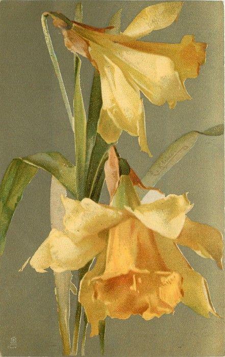 DAFFODILS two flowers