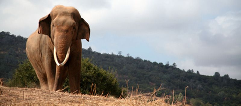 Sabu, the gentle bull elephant at PAWS has passed away. Rest in peace. 1982-2012.