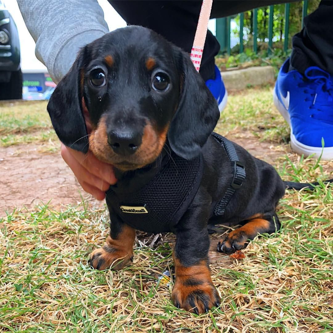 Pin by Wilson on CRITTERS Dachshund, Dogs, Doxie