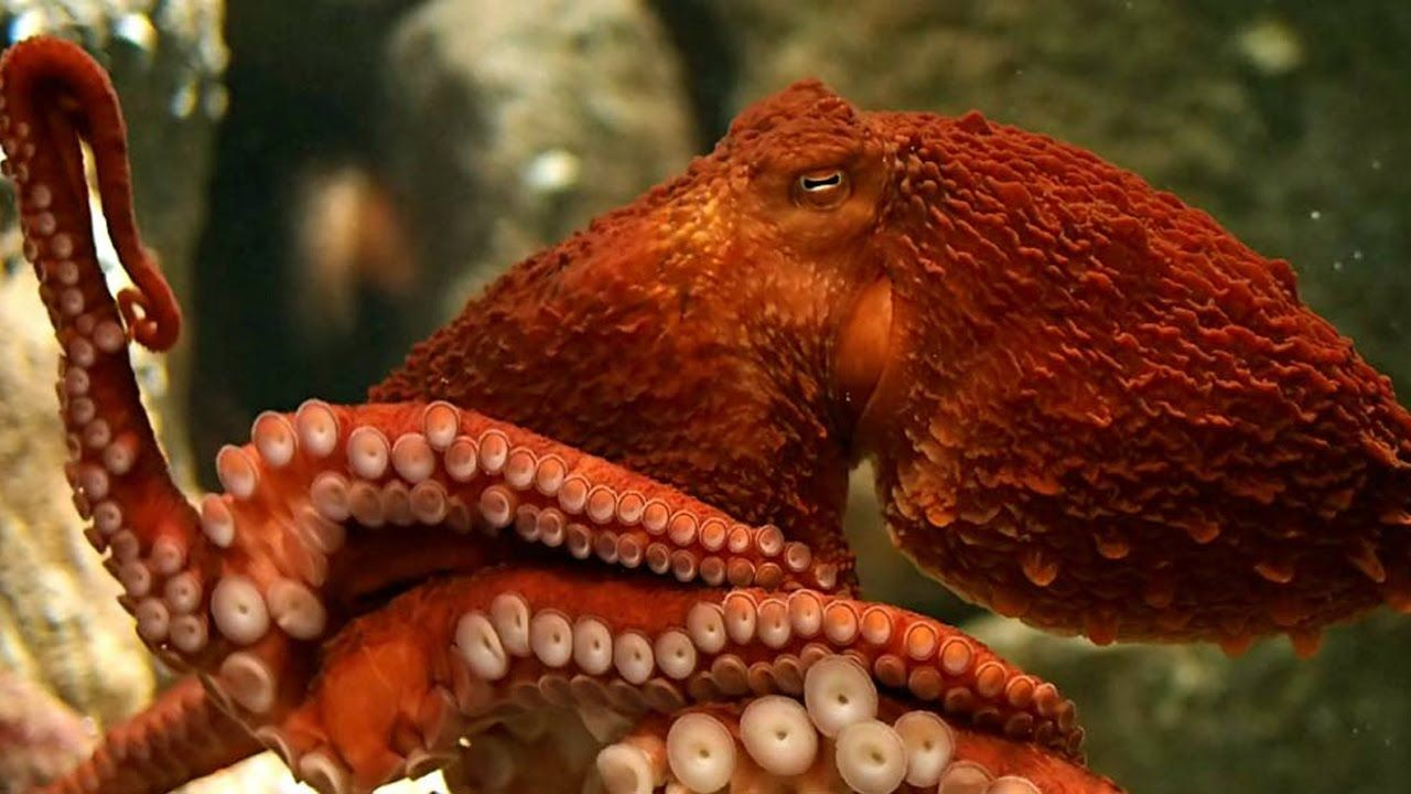 """deep sea monsters"""" giant octopus - discovery animals wildlife hd"""