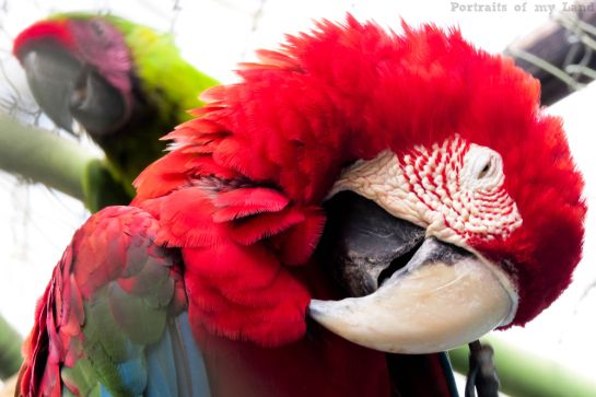 Portraits-of-my-Life-Red-Macaw-8