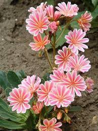 Photo of Lewisia: gli stessi fiori che sbocciano