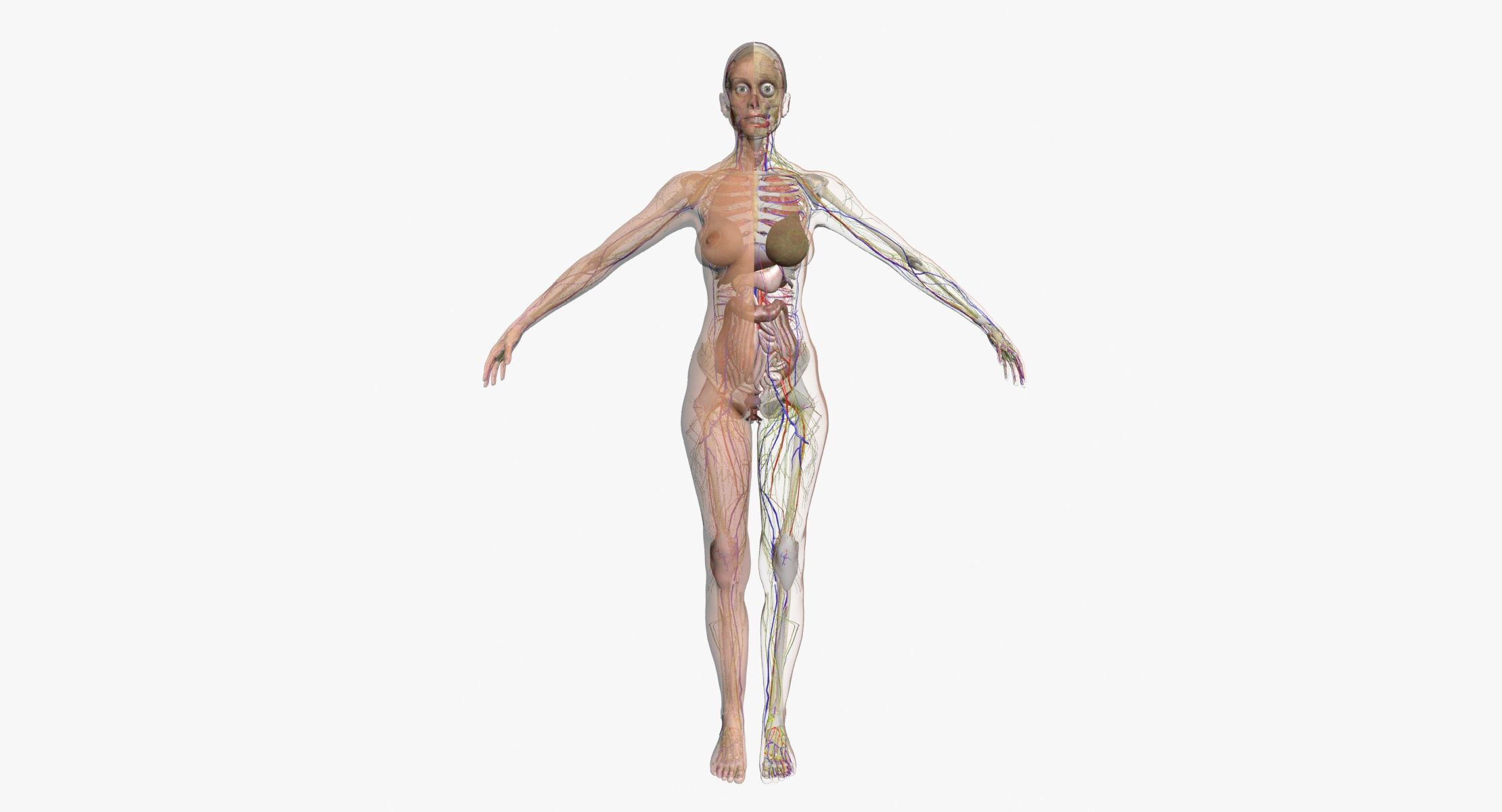 Full Female Body Anatomy 3dsmax 3d Model 3d Characters