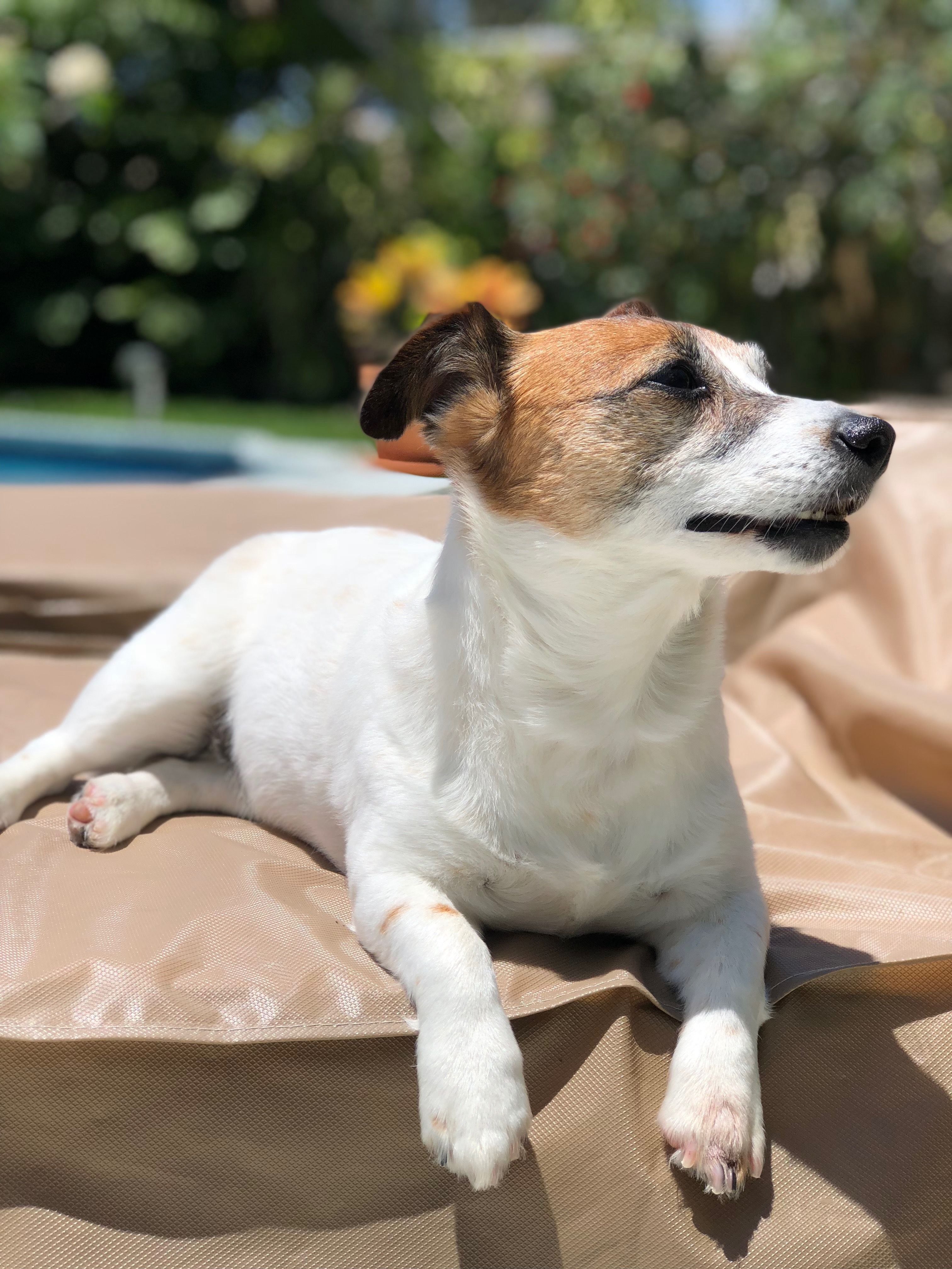 Pin By Claudia Beckwith On Mostly Jacks Jack Russell Jack