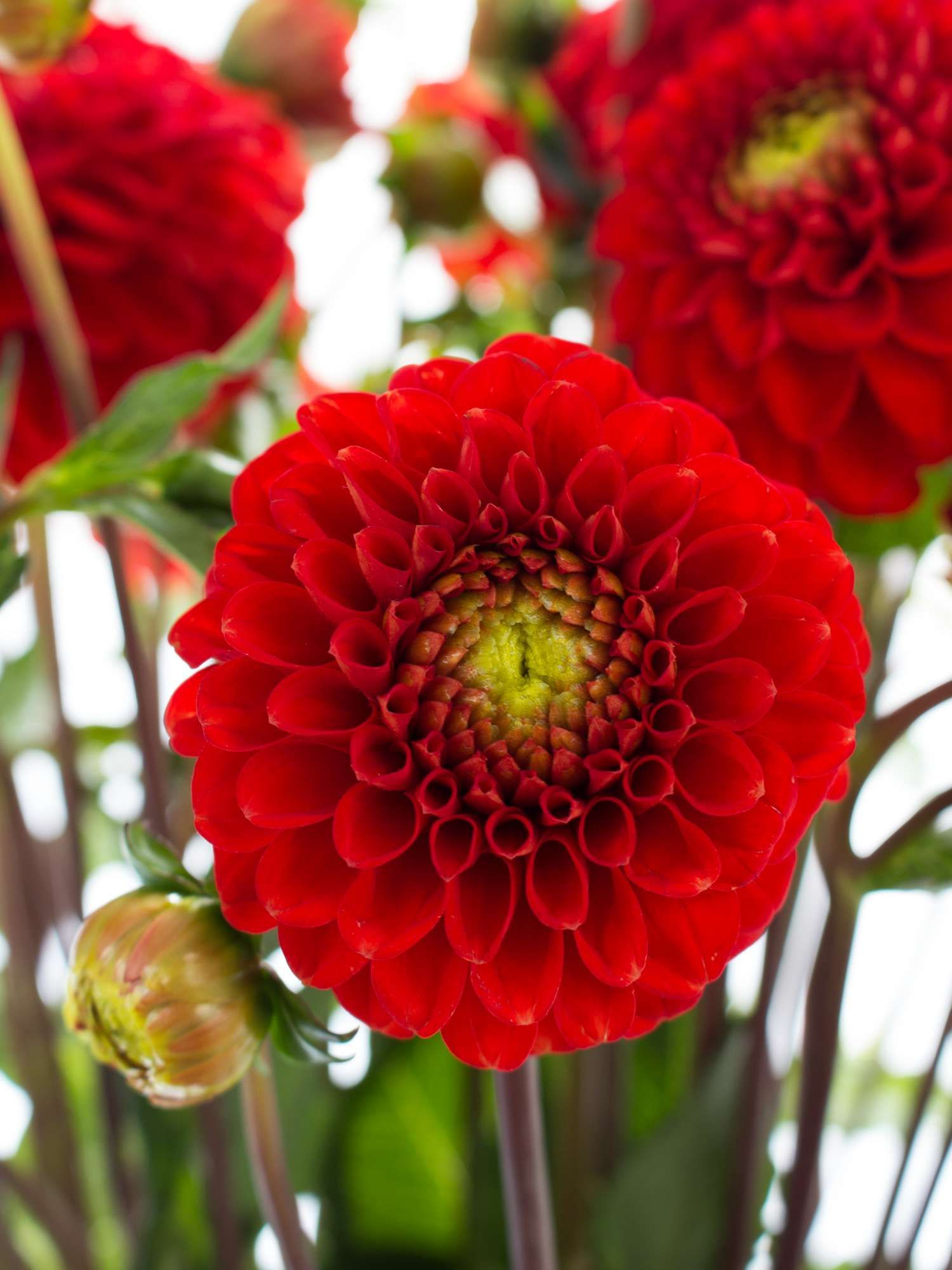 Dahlien Salsa Rot Weddingflowers Pinterest