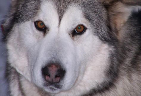 Alaskan Malamute With Golden Eyes This Dog Looks Just Like My