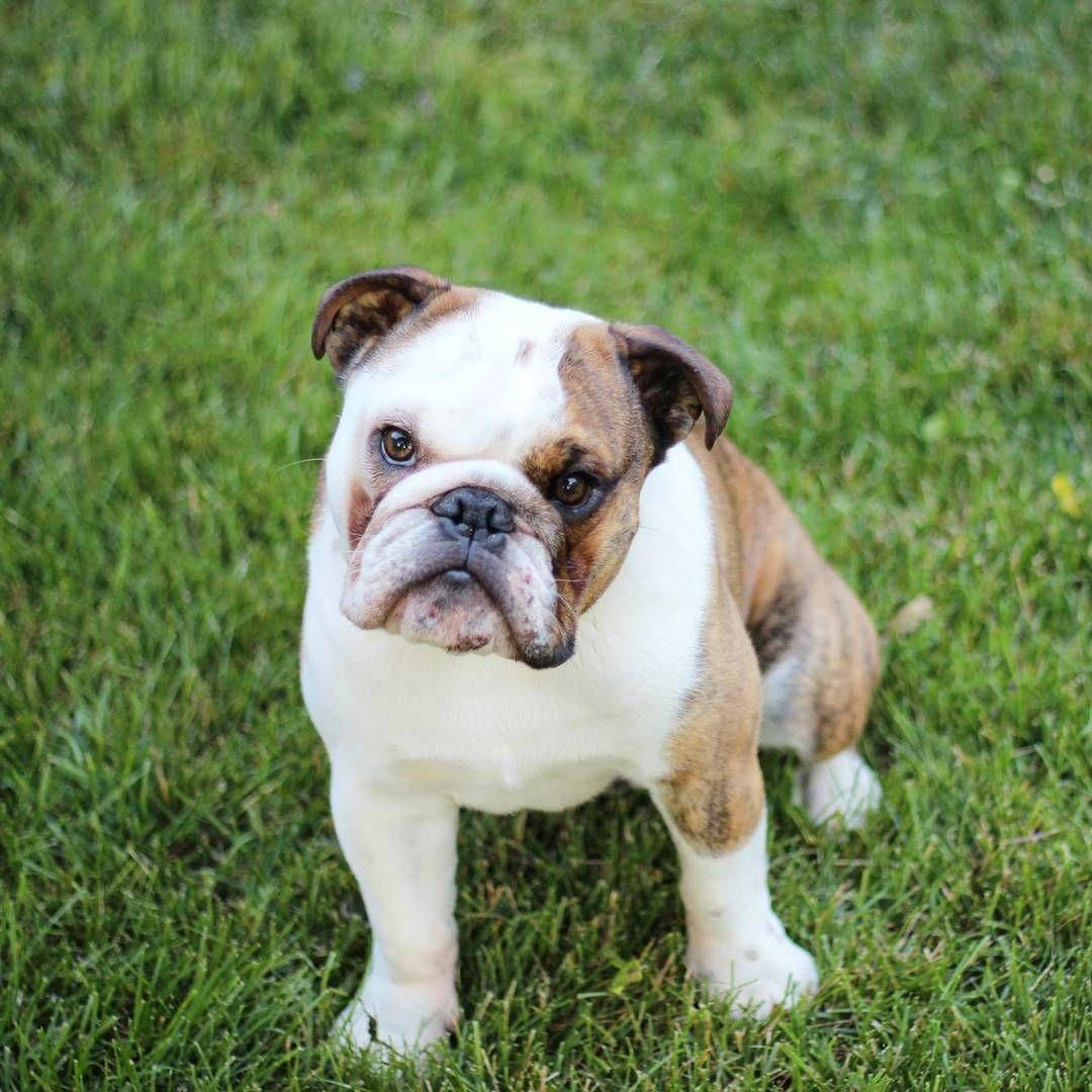 English Bulldog puppy! bulldogpups Bulldog puppies