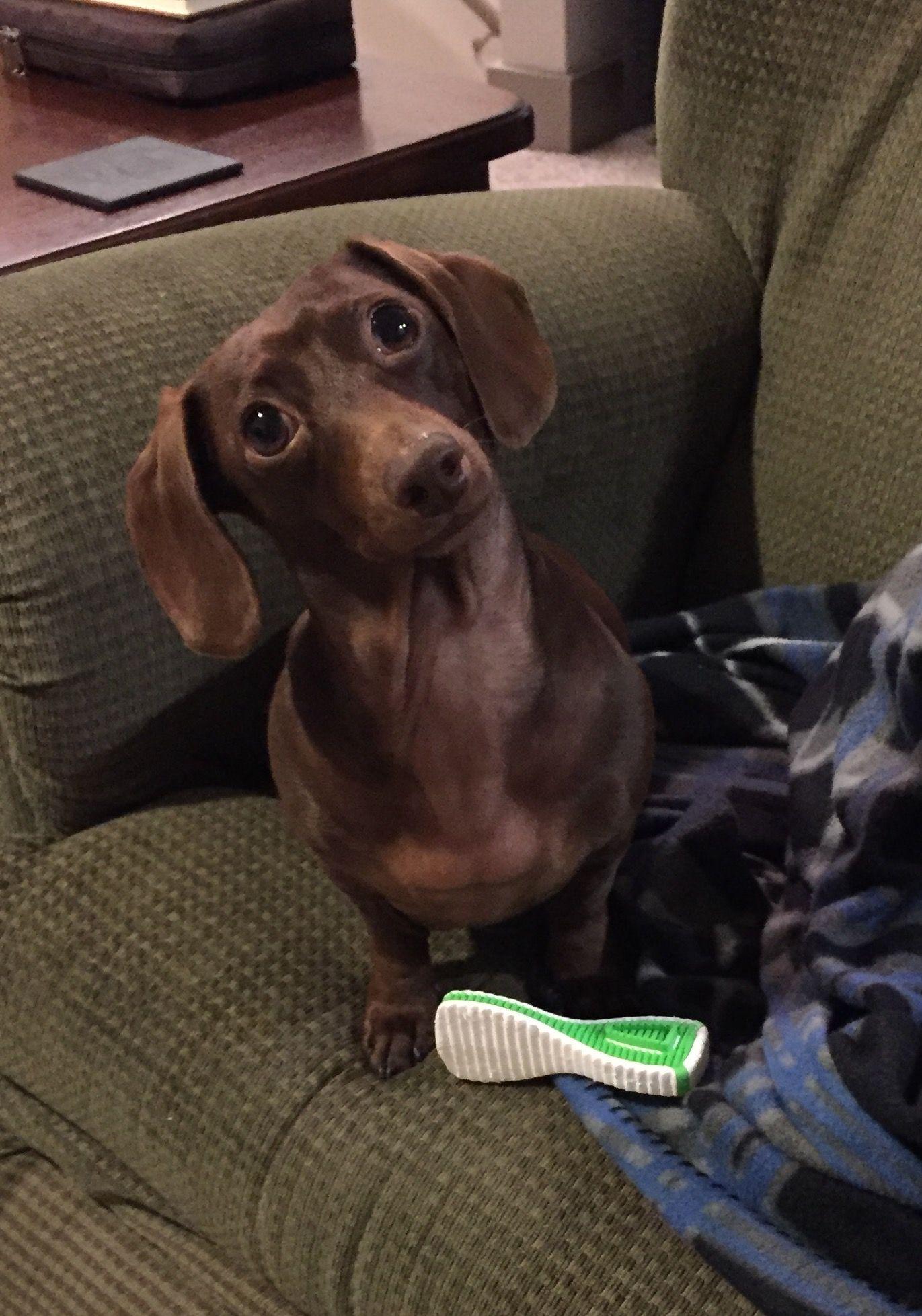 Tampa Fl Dachshund Mix Meet Ruby A Dog For Adoption Http