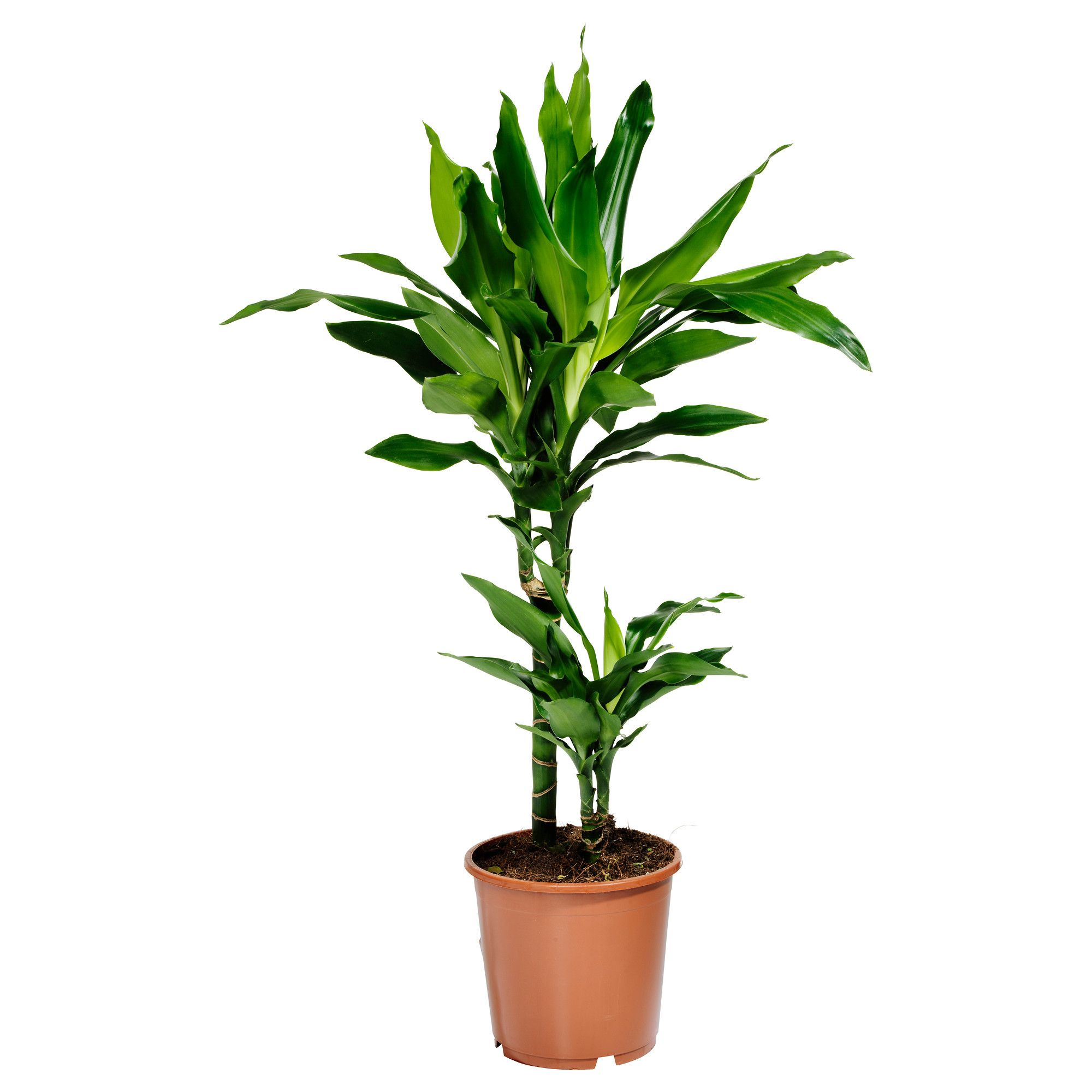 Dracaena janet lind potted plant ikea diy pinterest for Ikea plantes