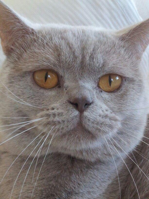 Mn Kleine Vriend British Shorthair Cats British Shorthair Cat