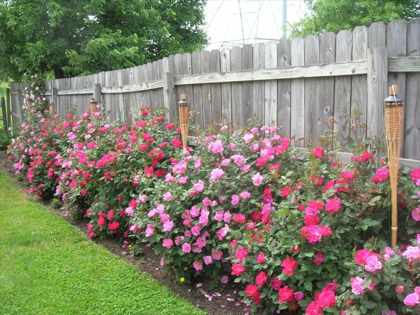 Knock Out Roses In 2021 Knockout Roses Landscaping Along Fence Lawn And Garden