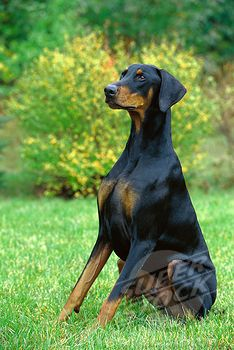Doberman Pinscher Canis Familiaris Male With Natural Ears