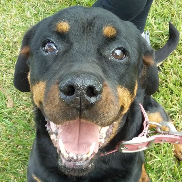 Zara 10 Year Old Rottweiler Large Female Rottweiler Dog In Nsw Petrescue Rottweiler Dogs Rottweiler Dog