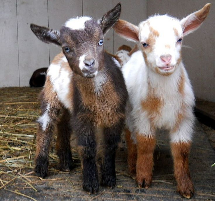 You Were Cuter Then Too Cute Goats Pygmy Goat Cute Animals