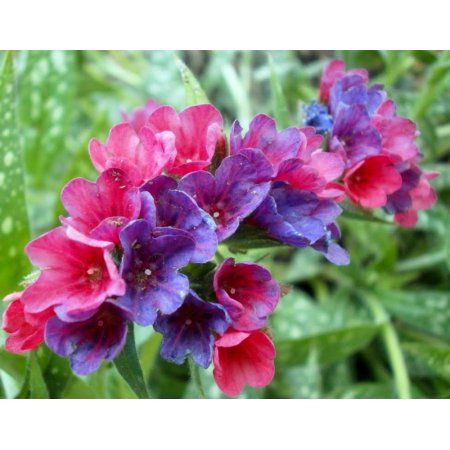 Raspberry splash lungwort perennial pulmonaria 3 pot buy raspberry splash lungwort perennial pulmonaria 4 pot at walmart mightylinksfo