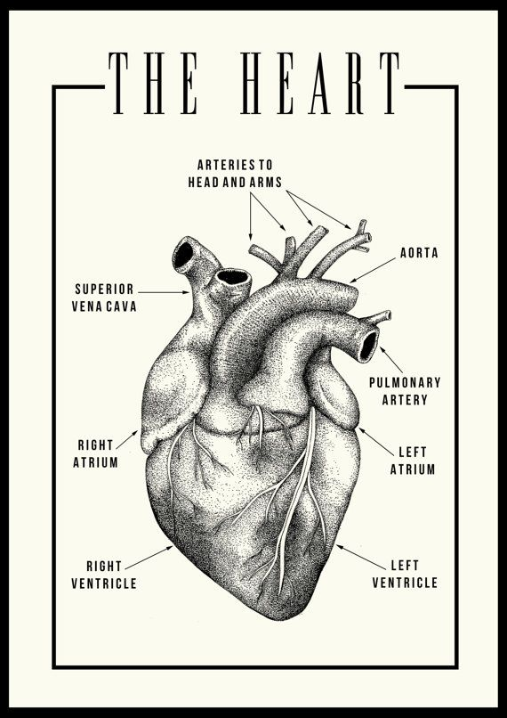 A3 Anatomical Heart Illustration Blackivory Printed On 150gsm Silk