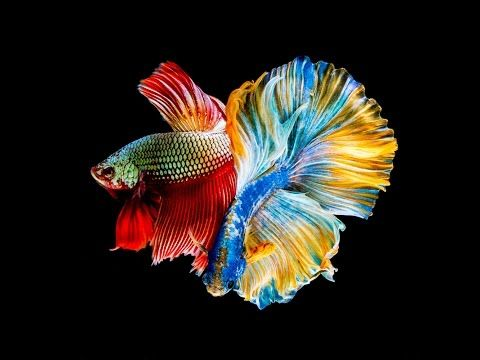 All 12 Colors Of Betta Fish Are Shown In This Video Select Your Most Favourite Colour Youtube Betta Fish Pretty Fish Betta Betta fish wallpaper gif betta fish my