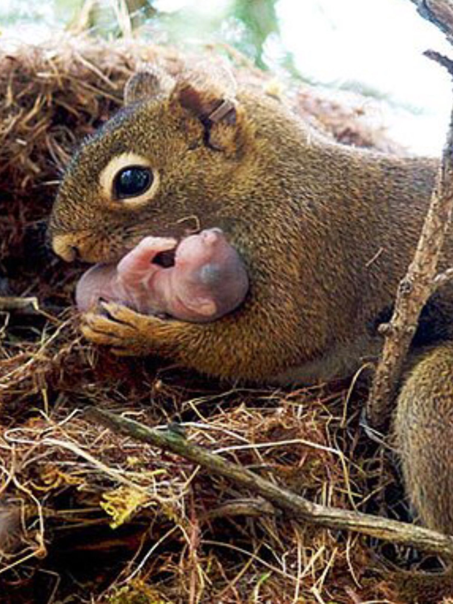 Squirrels 'adopt' only orphans they're related to, so the new mom helps pass on their common genes. But, to ensure survival of her own pups, the orphans must be a CLOSE relative. If she has 2 pups, she may adopt a niece or nephew; if 3, she'll only adopt her grandchild or a sibling w whom she shares more genes. They only adopt when the % of shared genes is hi enuf to make up for lower odds of survival for their own young.