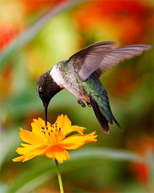 Hummingbird Drinking From A Coreopsis Flower