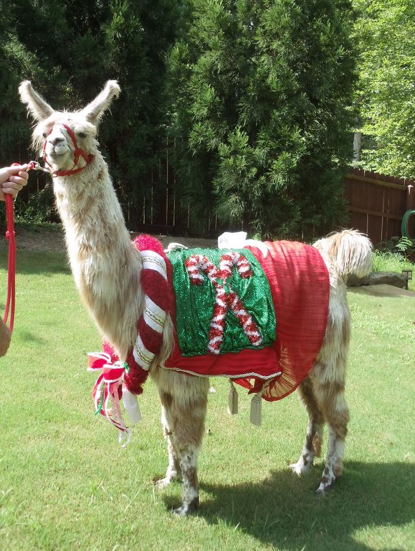 Llama Jolly In Candy Cane Costume With Neck Bling Made By Me