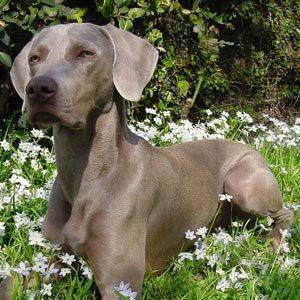 Raças de cães Waimaraner
