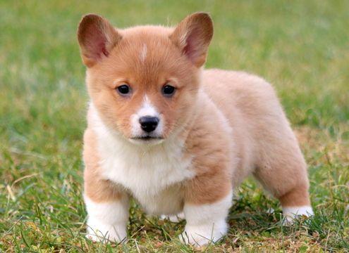 [9+] Brockton Corgi Dog Puppies For Sale Or Adoption Near Me