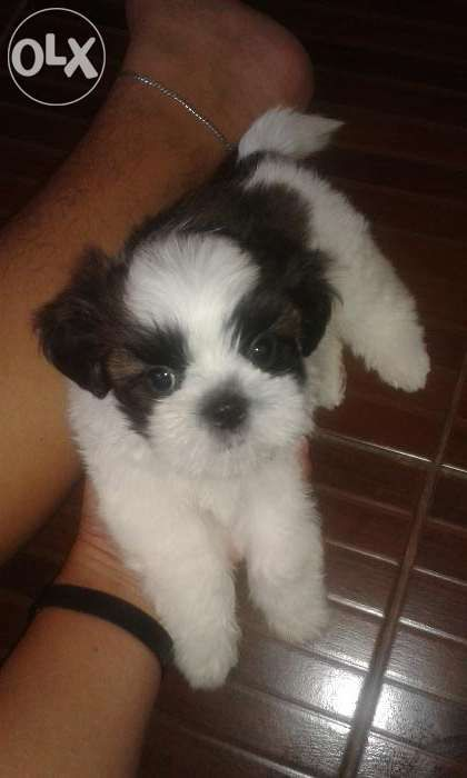 Male Shih Tzu Puppy For Sale Philippines Find New And Used Male Shih Tzu Puppy On Olx Shih Tzu Puppy Animal Lover Puppies