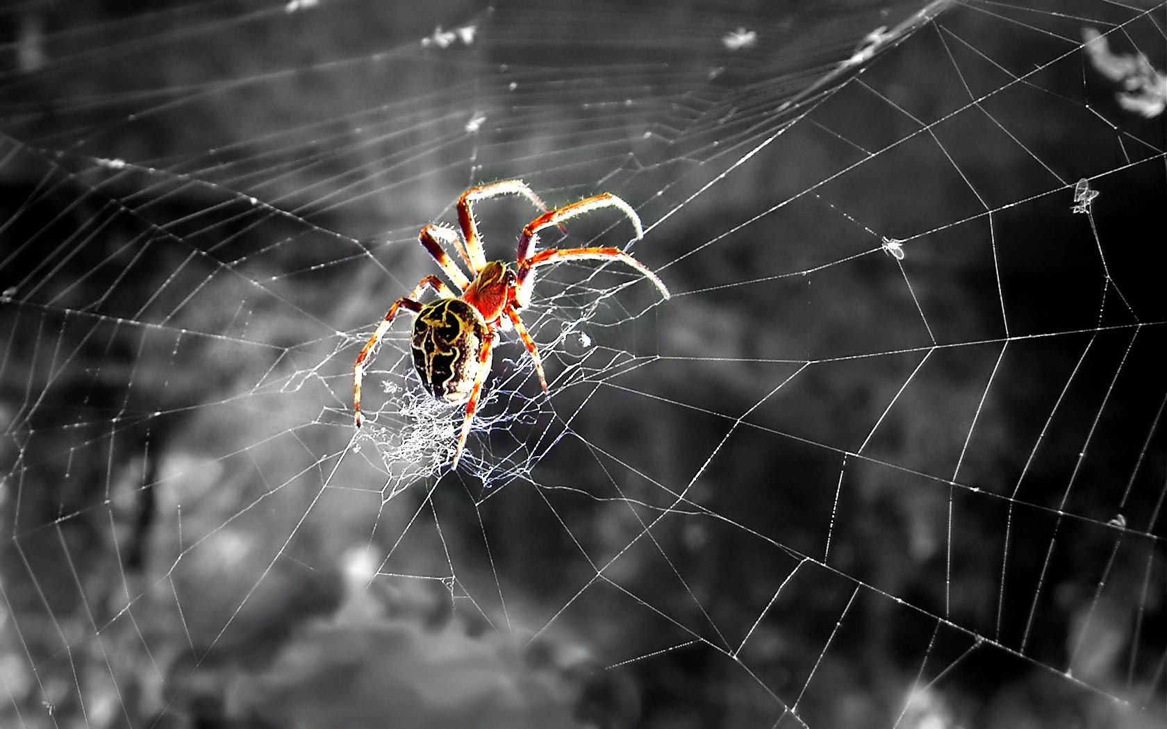 Spider Wallpaper Desktop Background Cfv Spider Spiders Scary Animal Wallpaper