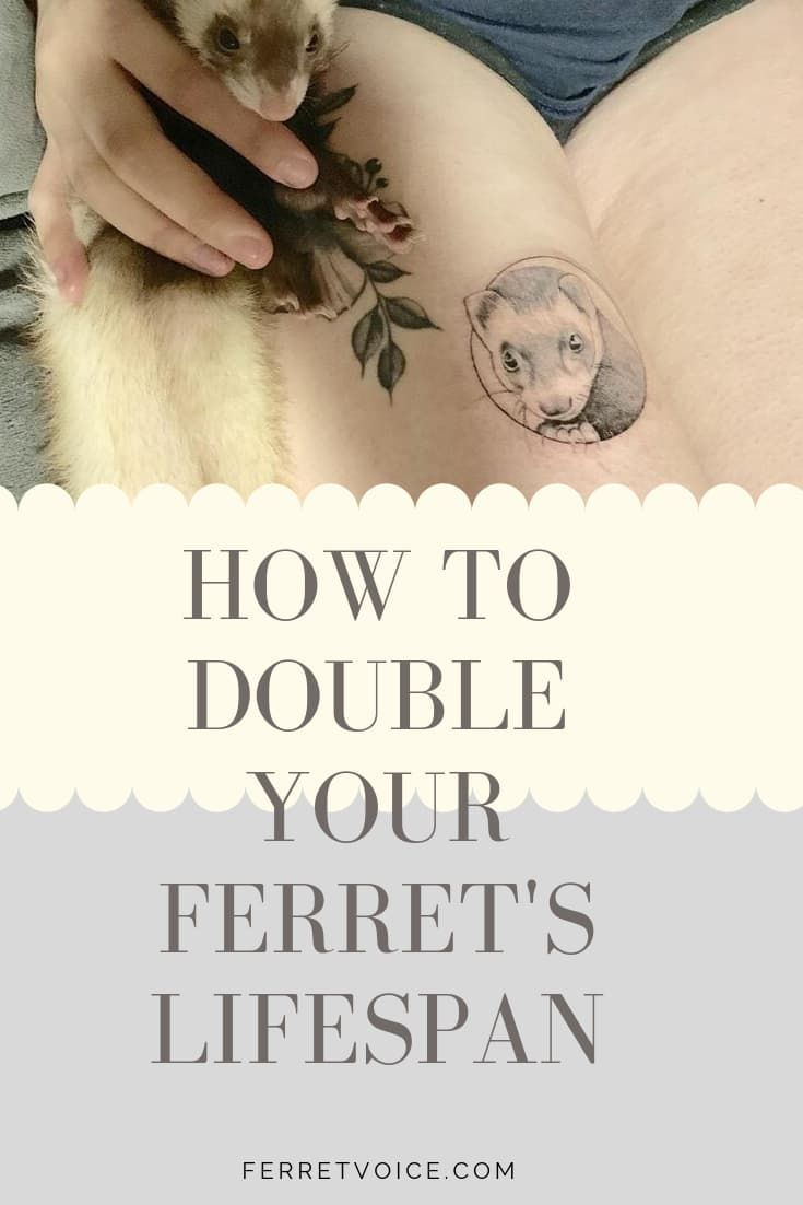 How to Double Your Ferret's Lifespan