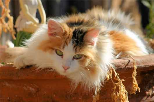 Popular Cat Breeds And Interesting Facts Popular Cat Breeds Cat Breeds Calico Kitten