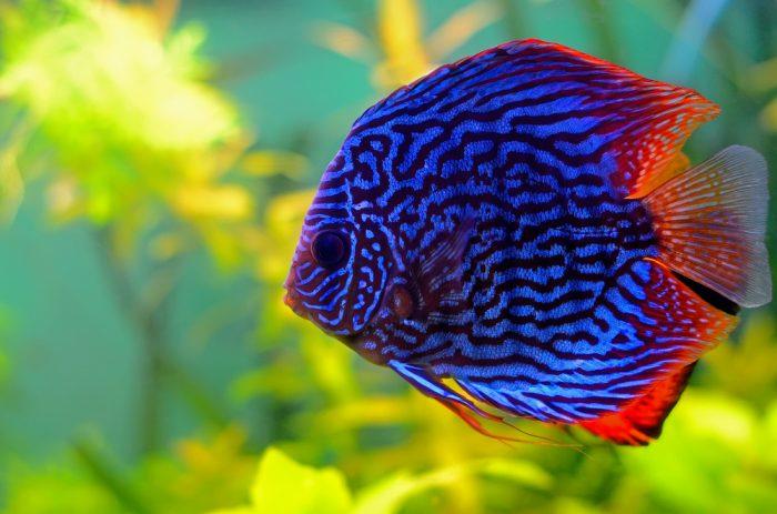 The Ultimate Discus Fish Guide Types Tank Mates Food Breeding In 2020 Fresh Water Fish Tank Discus Fish Fish