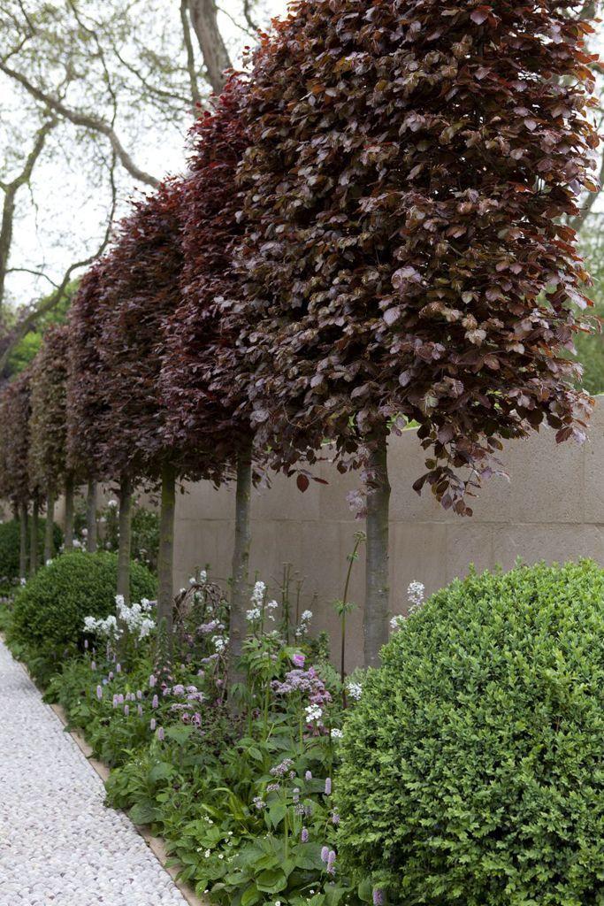 Bäume für kleine Gärten: Fagus sylvatica Atropurpurea Group, Kupferbuche, ist ein ... #kleinegärten