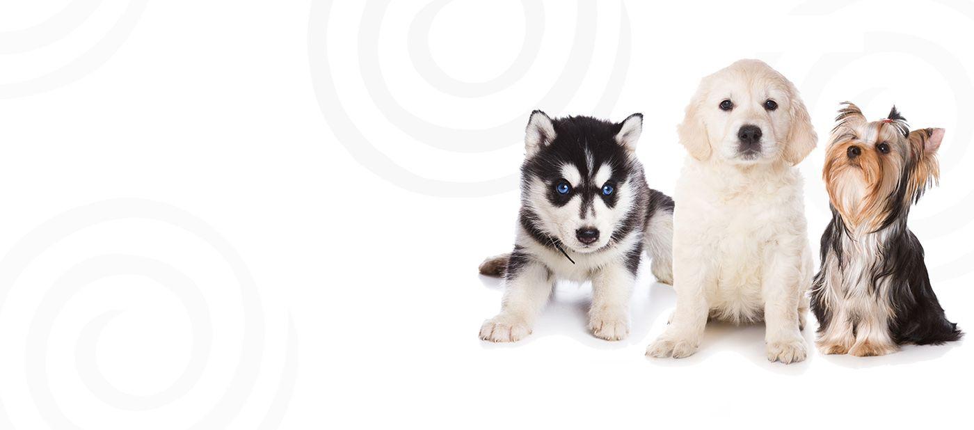 Petland Robinson, Allegheny County, PA Buy Puppies, Pets