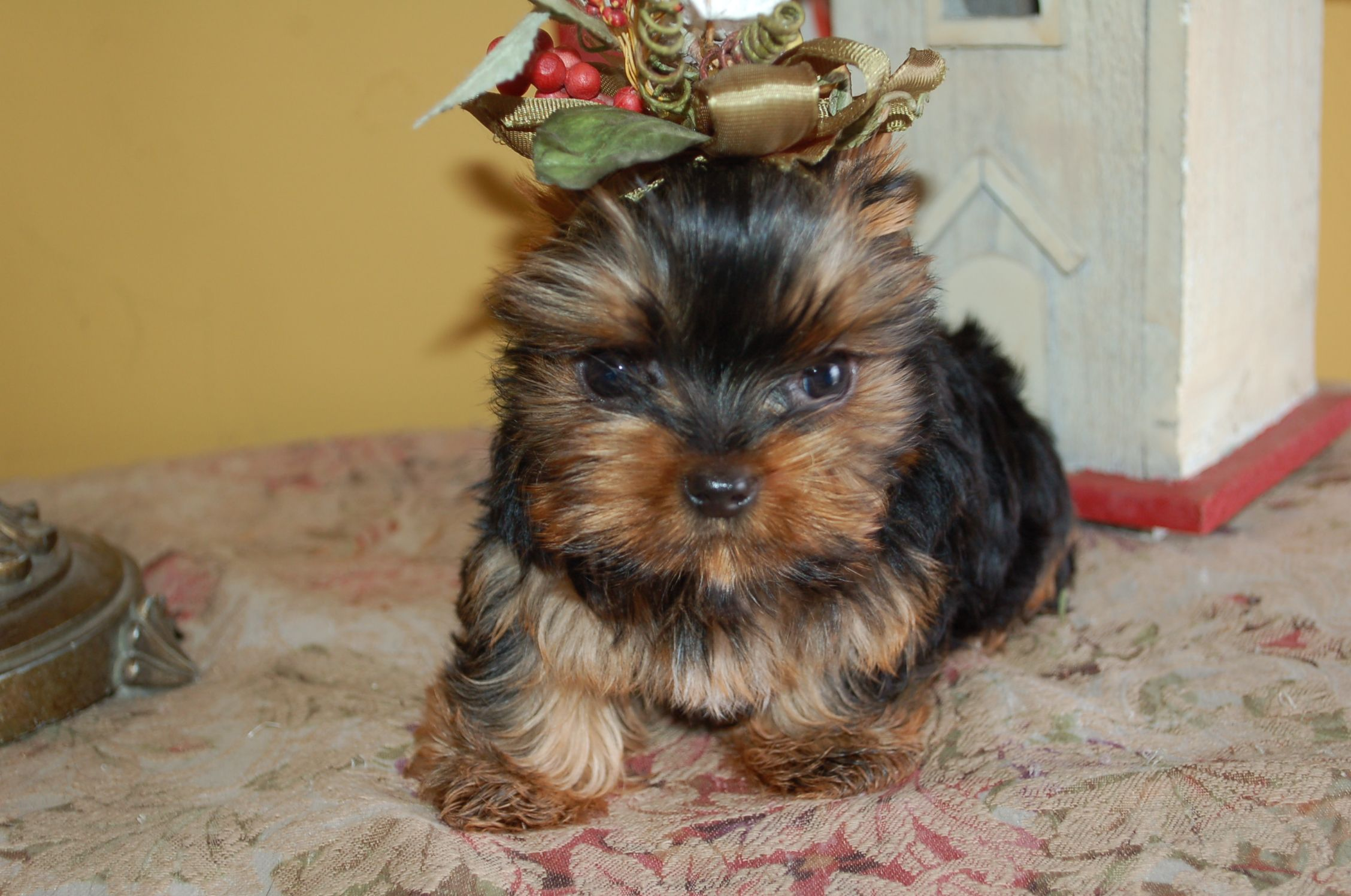 Beautiful Girl That Cindy Bell Has Now Yorkie Puppy For Sale Yorkie Puppy Teacup Yorkie Puppy