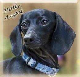 Holly Angel Is An Adoptable Dachshund Dog In San Antonio Tx