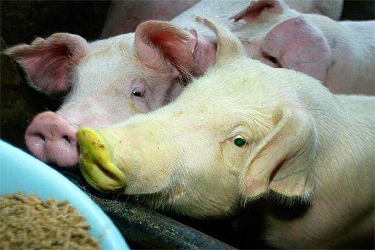 Científicos desarrollaron por primera vez embriones híbridos de humanos y cerdos con la capacidad de generar tejidos utilizables en personas Científicos del Instituto Salk realizaron un enorme avance en materia de trasplantes al conseguir modificar g