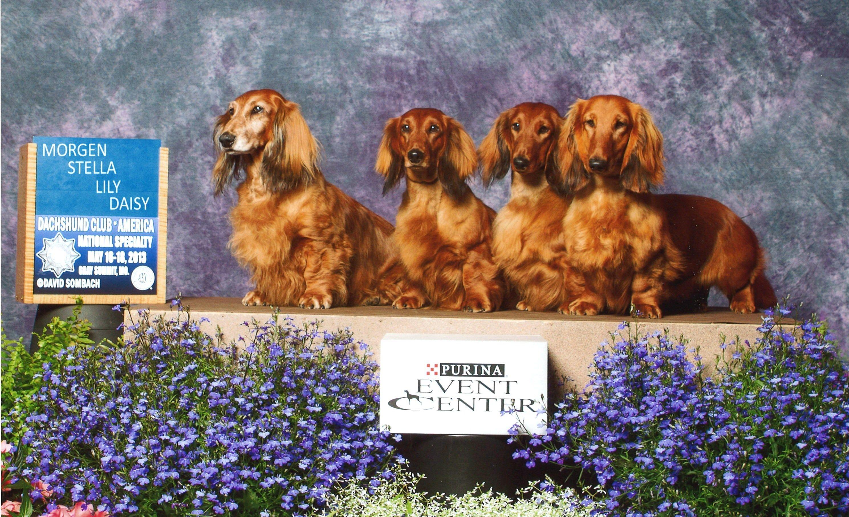 Stardust Dachshunds Wisconsin Dachshund Dachshund Breeders Dog