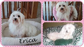 Dover Oh Maltese Meet Erica A Dog For Adoption Http Www