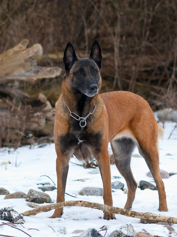 Aside From The Rottweiler The Belgian Malinois Is Quite Literally