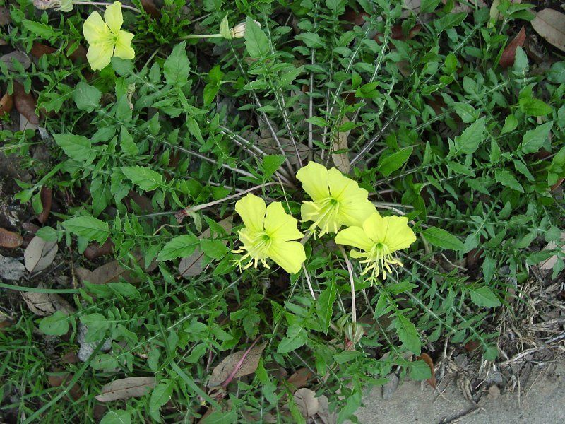 Find This Pin And More On Genus Oenothera Plantfiles Pictures Stemless Evening Primrose